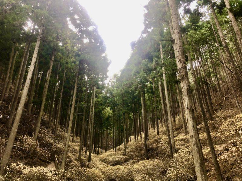 ミツマタ群生地 栃木 花 絶景 自然