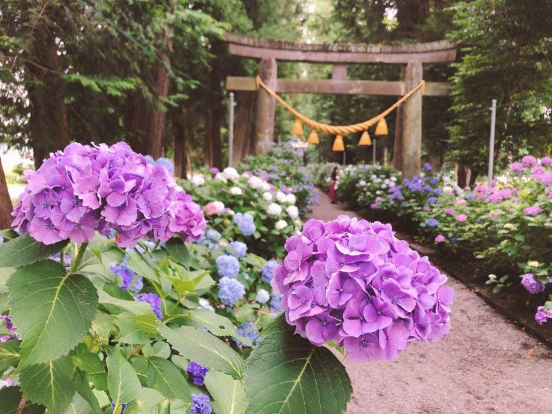 磯山神社 紫陽花 あじさい 鹿沼
