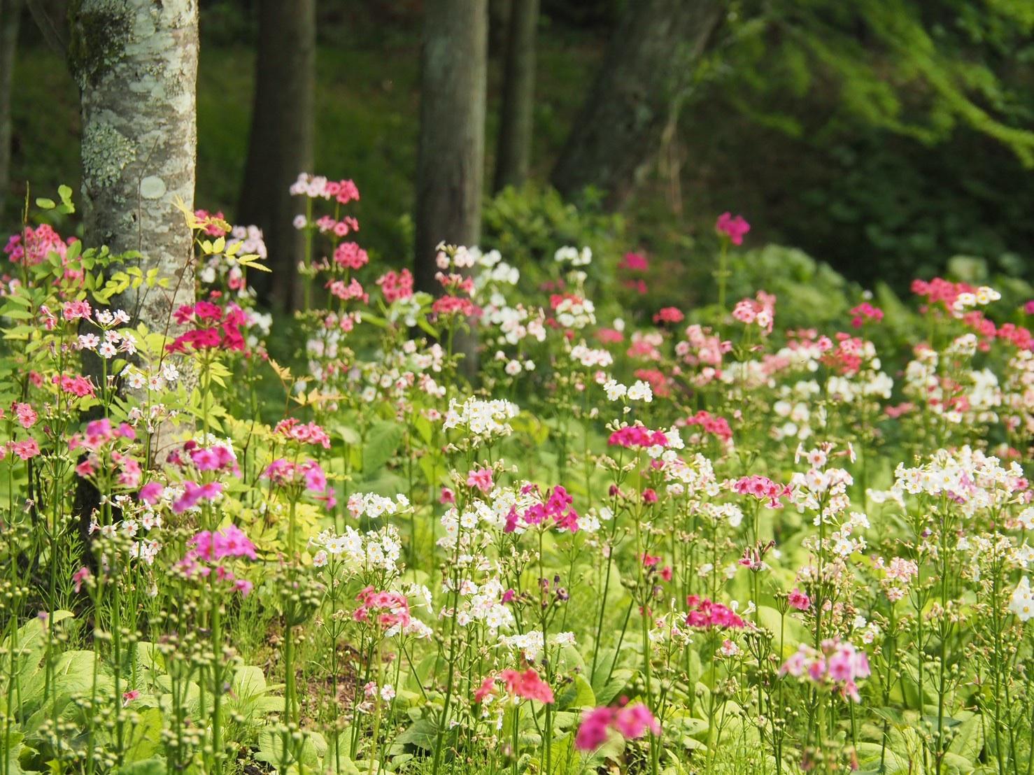 上三依水生植物園 クリンソウ お花