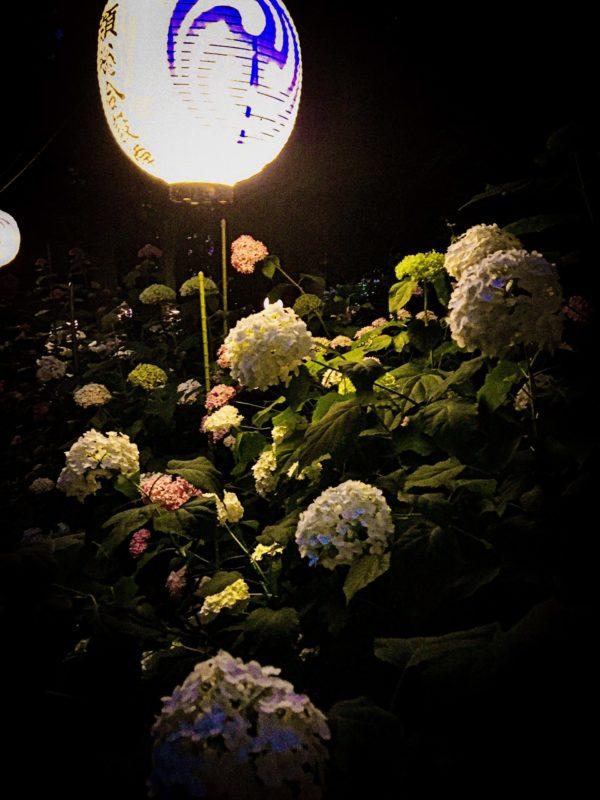 磯山神社 紫陽花 ライトアップ
